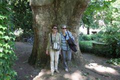 Diese Platane - gepflanzt 1820 - ist einer der größten Frankfurter Bäume
